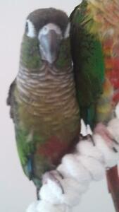 2 Green Cheek Conures for Sale!