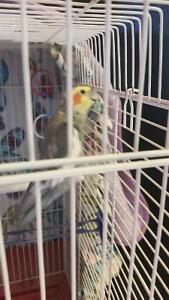 Cockatiel with cage