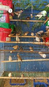 Finches for rehoming