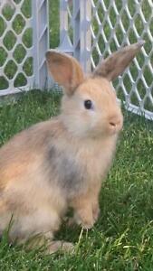7wk old baby bunnies!