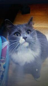 Iost grey and white cat