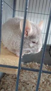 chinchilla , 2 story cage and everything she needs.