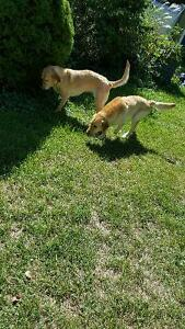 Selling my two purebred Labradors $50.00 each