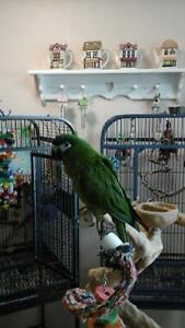 Lost  HAHNS  MACAW