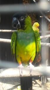 LOOKING TO BUY A PARROT LIKE ONE IN PICTURE BELOW
