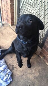 Pure breed black lab Minto Campbelltown Area Preview