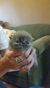EXOTIC SHORTHAIR KITTENS BY Registered Long-Time Breeder. Prince George British Columbia image 4