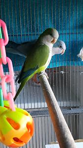 Bonded Quaker Parrots for sale Cranbourne East Casey Area Preview