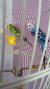 Male/Female Bugie Birds