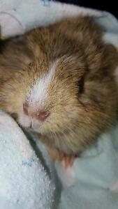 Baby guinea pigs,  siberian dwarf hamsters, hedgehogs, rabbits