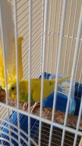 Parakett (Budgie) with cage for sale