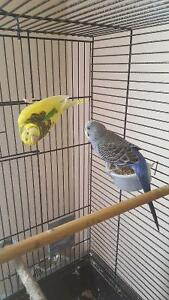 Rehoming 1 budgie