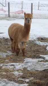 Pet stock and breeding female alpacas for sale Windsor Region Ontario image 3