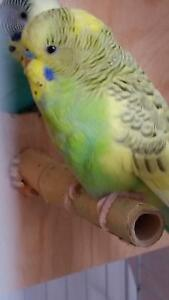 YOUNG BUDGIES/PERFECT FOR HAND TAMING