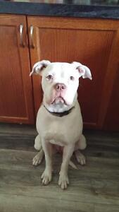 American Bulldog Pure breed - Female
