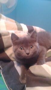 RUSSIAN BLUE KITTENS READY NOW  CALL /TEXT ONLY