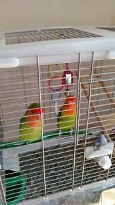 Male and Female love birds