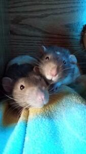 Two Friendly Male Rats with Cage