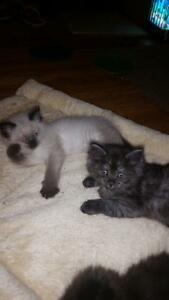 persian/ragdoll munchkins reduced $