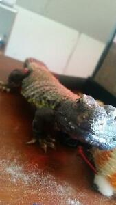 Pair of Uromastyx setup included.