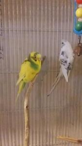 two beautiful budgies