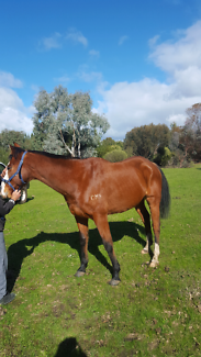 TB GELDING FREE TO GOOD HOME