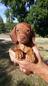 GORGEOUS MALE MINI DACHSHUND PUPPIES..PARENTS ON SITE.