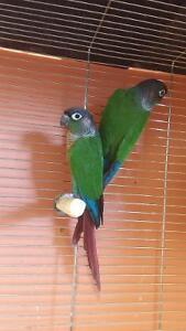Couple de conure