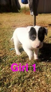 Pups for sale Narromine Narromine Area Preview