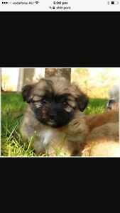 "WANTED ""FEMALE"" Shih Tzu x Maltese for forever home $800 Baldivis Rockingham Area Preview"