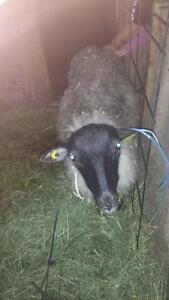agneau lourd