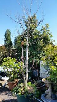 Chinese Tallow Wood Tree Advanced in Pot 2 metres