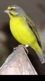 FINCHES GREEN SINGER