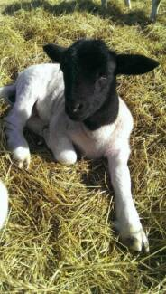 Dorper Wethers For Sale