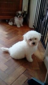 Pure Bred Bichon Frise puppies