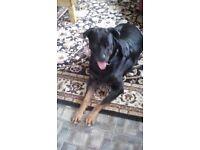 Rottweiler dog for sale