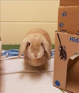 "Adult Male Rabbit - Lop Eared: ""Honey"""