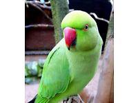 Indian ring nack talking parrot