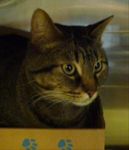 """Adult Male Cat - Domestic Short Hair: """"Schmee"""""""