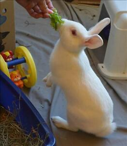 """Young Male Rabbit - American: """"Snowball *bonded With Thumper"""""""