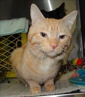 "Adult Male Cat - Domestic Short Hair: ""Little Buddy"""