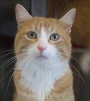 "Adult Male Cat - Domestic Short Hair: ""Ron"""