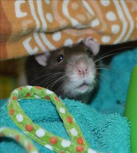 """Young Male Small & Furry - Rat-Rat: """"Chester"""""""