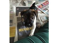 VERY RARE TRI COLOURED JACK RUSSELL PUPPY WITH FREE PET INSURANCE!!!!!!!!!!!!