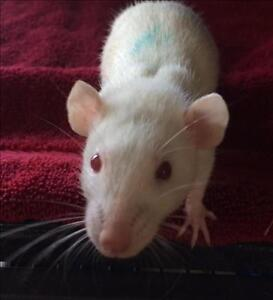 "Adult Male Small & Furry - Rat: ""Azure"""