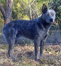 Genuine stumpy tail cattle dogs Tamworth Tamworth City Preview
