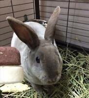 "Young Male Rabbit - Mini Rex: ""Smokey"""