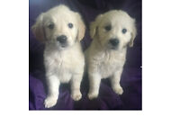 Looking to rehome our 11 week Golden Retriever Puppies