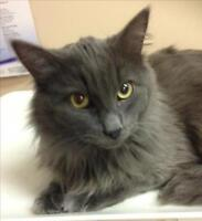 """Young Male Cat - Domestic Short Hair: """"Tim"""""""