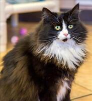 "Adult Female Cat - Domestic Long Hair: ""Kitty"""